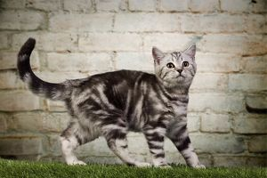 dec2014/6/cat british shorthair silver tabby 3 month