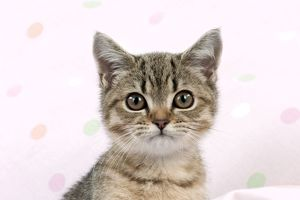 Cat - British shorthaired kitten (head shot)