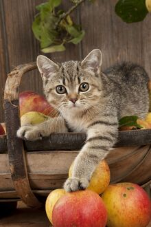 CAT - British shorthaired kitten laying on basket of apples
