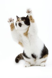 CAT - Britsih Shorthair, Calico - on hind legs