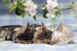 CAT. Brown Marble & Snow Marble blue-eyed Bengal kittens asleep under blossom - 6