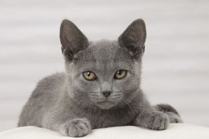 Cat - Chartreux kitten 3 months old.