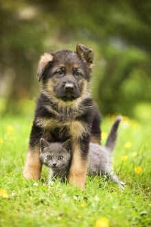 Cat - Chartreux kitten with German Shephern / Alsatian puppy
