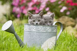 Cat - two Chartreux kittens in watering can