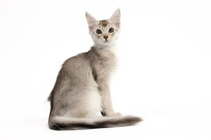 Cat - Chocolate 7 Silver Abyssinian