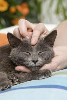 Cat - enjoying being stroked on head by owner
