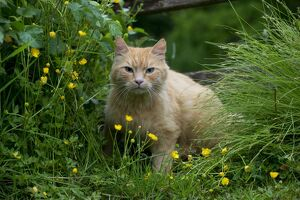 CAT - Ginger cat. sitting in buttercups and long grasses.