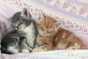Cat - Ginger and Grey Tabby kittens sleeping