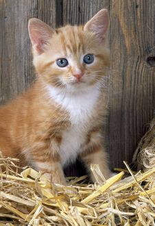 Cat - Ginger kitten in barn