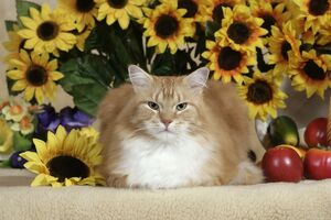 CAT - ginger and white tabby Tom with sunflowers