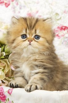 Cat - Golden shaded Persian kitten