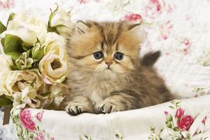 Cat - Golden shaded Persian kitten in basket