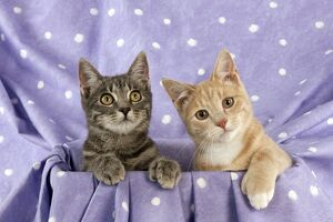 CAT - Grey and ginger tabby cats sitting together