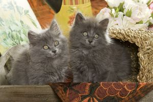 Cat - two Grey Kittens