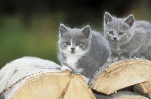 CAT - two grey & white kittens sitting on logs