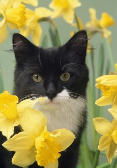 CAT - Kitten in daffodils