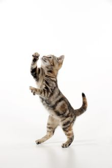 CAT - Kitten jumping