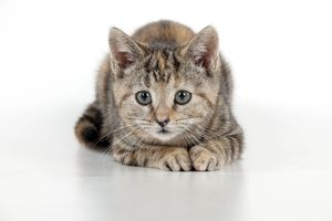 CAT - Kitten laying down