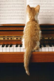 Cat - kitten on piano