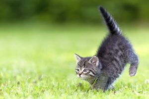 Cat - kitten running across lawn