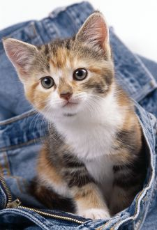 CAT - kitten sitting in jeans