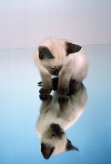 Cat - kitten sitting on a mirror