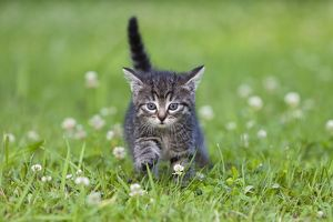 Cat - kitten walking across lawn