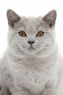 Cat - Lilac British Shorthair - 4 months old