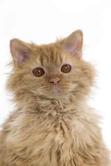 Cat Long-haired Selkirk Rex