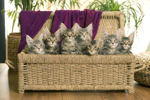 Cat - Maine Coon - group of seven kittens in basket