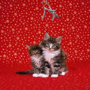CAT - Maine Coon Kittens under mistletoe