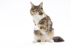 Cat Maine Coon sitting raised paw