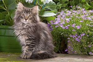 Cat - Norwegian Forest Kitten sitting with flowers