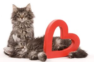 Cat - two Norwegian forest kittens lying next to red cut-out heart