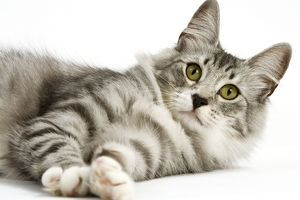 Cat - Norwegian Silver Tabby