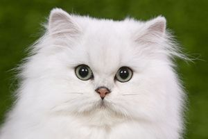 Cat - Persian Chinchilla - Kitten