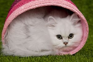 Cat - Persian Chinchilla - Kitten curled up in pink basket