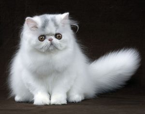 Cat - Persian Kitten