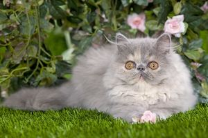 Cat - Persian kitten in garden amongst flowers