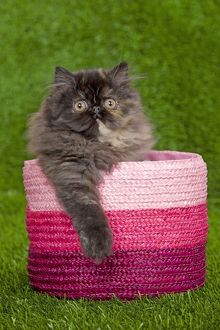 Cat - Persian kitten in pink basket