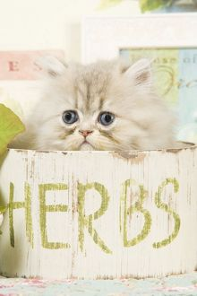 Cat - Persian kitten in pot