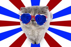 latest images/cat persian wearing heart shaped union jack