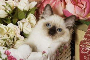 Cat - Ragdoll Seal Kitten in basket amongst flowers