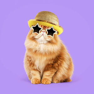 Cat - Red Persian wearing gold star sunglasses