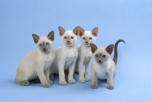 Cat - Siamese kittens