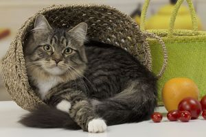Cat - Siberian - 7 months old. in basket.