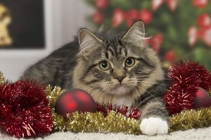 Cat - Siberian - 7 months old. Christmas decorations.
