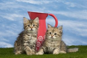 Cat - Siberian - 8 week old kittens - with jug