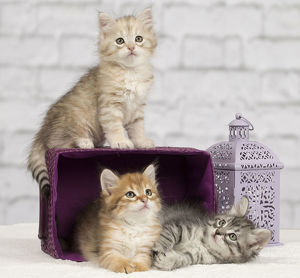 Cat - Siberian - 8 week old kittens - playing with