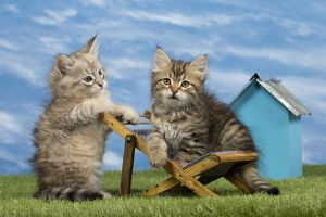 dec2014/6/cat siberian 8 week old kittens toy deck chair